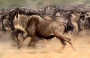 wildebeest-snp_5108
