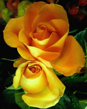two-yellow-roses